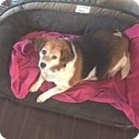 Adopt A Pet :: Cassie at SLARL - Warren, MI
