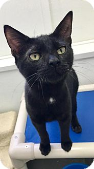 Domestic Shorthair Cat for adoption in Manteo, North Carolina - Scooter