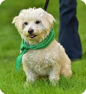 Lhasa Apso/Poodle (Miniature) Mix Dog for adoption in Marina Del Ray, California - REMY - VIDEO TO VIEW