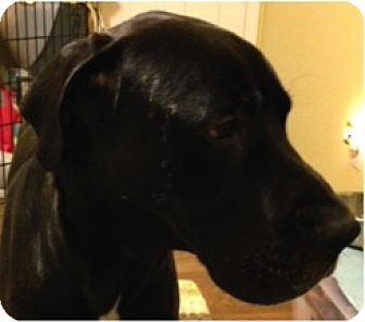 Great Dane/Mastiff Mix Dog for adoption in Boonton, New Jersey - Merlin