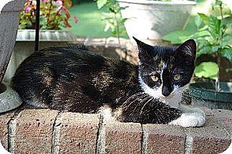 Domestic Shorthair Cat for adoption in Huddleston, Virginia - Foxie Roxie