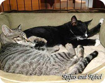 Domestic Shorthair Cat for adoption in Alamo, California - Rebel
