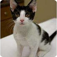 Adopt A Pet :: Prongs - Chicago, IL