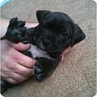 Adopt A Pet :: Bo - Clay, NY