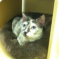 Adopt A Pet :: Mittens - Monroe, GA