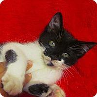 Adopt A Pet :: Acara - Lafayette, CA