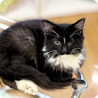 Adopt A Pet :: Diane Kitten - Chicago, IL