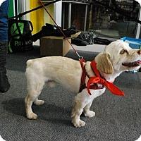 Adopt A Pet :: Stitch - Pierrefonds, QC