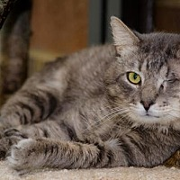 Domestic Shorthair Cat for adoption in Atlanta, Georgia - Fennster 150847