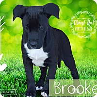Adopt A Pet :: Brook - West Hartford, CT