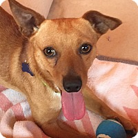 Dachshund/Chihuahua Mix Dog for adoption in Arlington, Texas - Chase