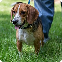 Adopt A Pet :: Lou - ADOPTION PENDING!! - Arlington, VA