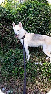 Alaskan Malamute Dog for adoption in Orlando, Florida - Storm
