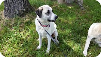 Great Pyrenees/Anatolian Shepherd Mix Dog for adoption in Crocker, Missouri - Gabi