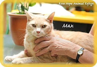 Domestic Shorthair Cat for adoption in Waterbury, Connecticut - Max
