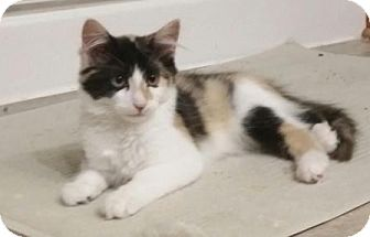 Domestic Shorthair Cat for adoption in Evergreen, Colorado - Maisy