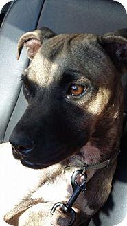 Mastiff Mix Dog for adoption in Romeoville, Illinois - Millie