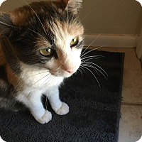 "Adopt A Pet :: Kipper - 7 ""K"" Kitty - Phoenix, AZ"