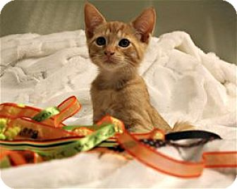 Domestic Shorthair Kitten for adoption in Lincoln, California - Catsinova