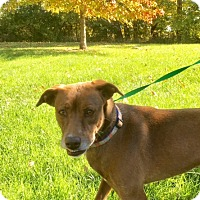 Labrador Retriever Mix Dog for adoption in Albion, New York - Delia