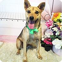 Adopt A Pet :: Bambi - Castro Valley, CA
