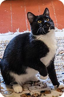 Domestic Shorthair Cat for adoption in Prescott, Arizona - Cookie