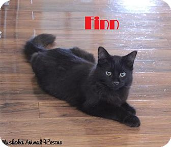 Domestic Mediumhair Cat for adoption in Huntsville, Ontario - Finn - Extremely Playful!