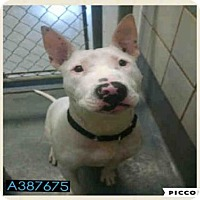 Bull Terrier Mix Dog for adoption in San Antonio, Texas - BRUTUS