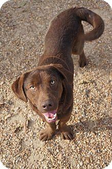 Labrador Retriever/Basset Hound Mix Dog for adoption in Manchester, Connecticut - Jefferson in CT