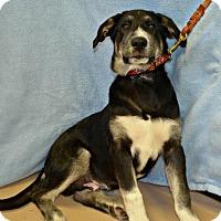 Shepherd (Unknown Type)/Labrador Retriever Mix Dog for adoption in Yreka, California - Jammin