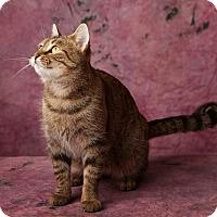 Adopt A Pet :: Caramel Latte - Harrisonburg, VA