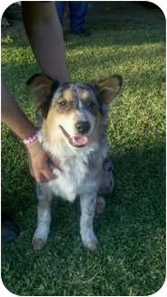 Australian Shepherd Dog for adoption in Bakersfield, California - Snowflake