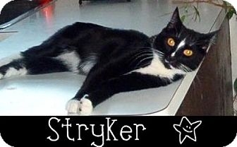 Domestic Shorthair Cat for adoption in River Edge, New Jersey - Stryker