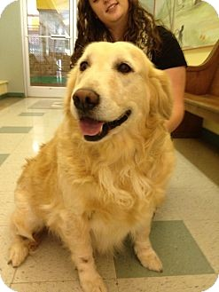 Golden Retriever Dog for adoption in White River Junction, Vermont - Ginger