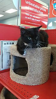 Domestic Mediumhair Cat for adoption in San Ramon, California - Mouse