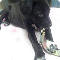 Adopt A Pet :: Rosie - Cincinnati, OH
