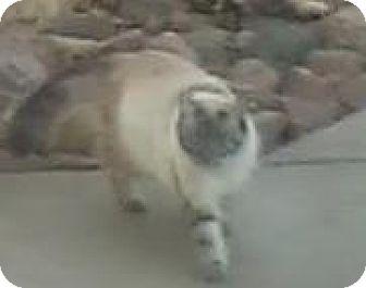 Himalayan Cat for adoption in Lincoln, Nebraska - Snowball