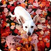 Adopt A Pet :: Skipper - Pitt Meadows, BC
