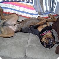 Adopt A Pet :: Gizmo - Frederick, PA
