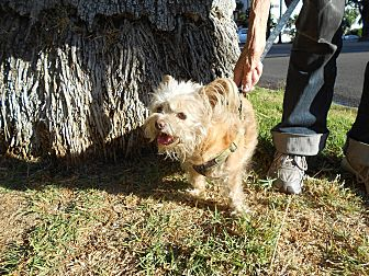 Terrier (Unknown Type, Small) Mix Dog for adoption in Encino, California - Woody - Courtesy Post