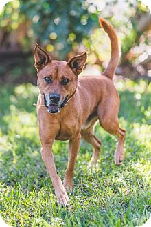 Chow Chow/Shepherd (Unknown Type) Mix Dog for adoption in Miami, Florida - Fox