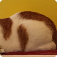 Adopt A Pet :: Gumdrop - Fairfax, VA