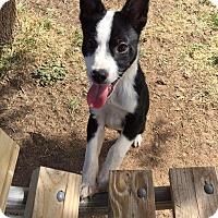 Adopt A Pet :: Bodhi - Denver, CO