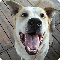 Adopt A Pet :: Boomer *BIG BOY! - Bedminster, NJ