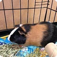 Adopt A Pet :: Mocha - Fullerton, CA