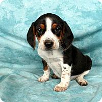 Adopt A Pet :: Bridget Beagle - St. Louis, MO