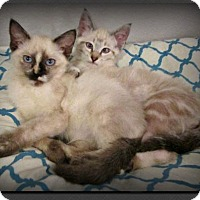 Adopt A Pet :: Thai & Chi - Gilbert, AZ