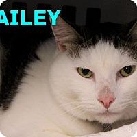 Domestic Shorthair Cat for adoption in Bradenton, Florida - Bailey