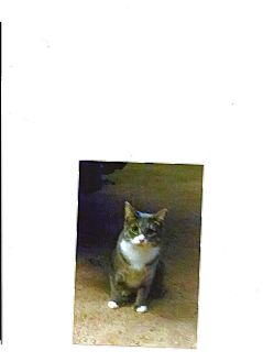 Domestic Shorthair Cat for adoption in Floral City, Florida - Zambi
