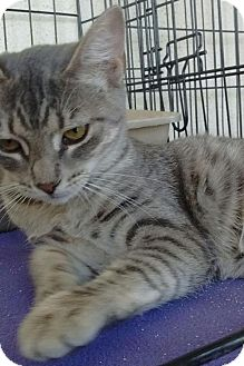 Domestic Shorthair Cat for adoption in Visalia, California - Precious